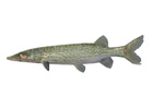 Wii「ファミリーフィッシング」12月7日より第5回目のお魚「チェーンパイク」がネットワークに放流