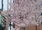 桜の季節がやってきました―編集部通信(2015年3月28日号)