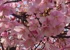 2月の桜を紹介します―編集部通信(2017年4月8日号)